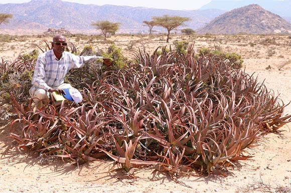 New Species of Aloe Discovered in Somaliland