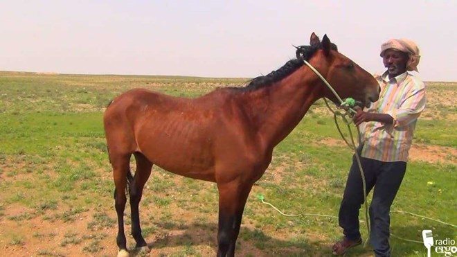 Indigenous horses dying out in northern Somalia