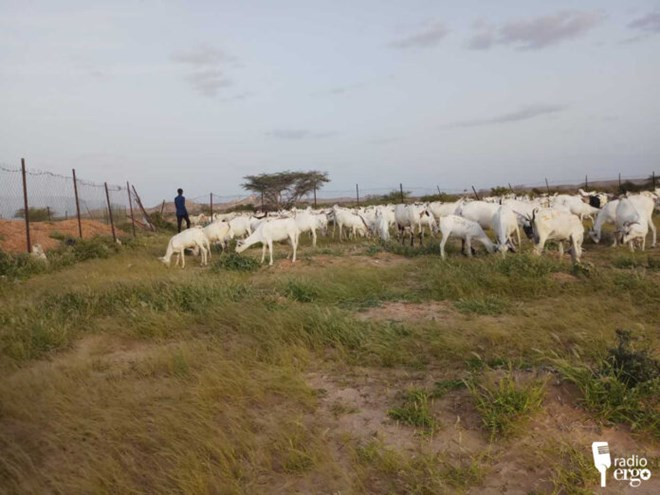 Management of grazing lands in Puntland saves pastoralists and their herds from drought
