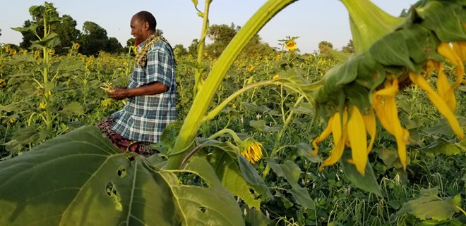 Farmers in Mandera County discover gold in Sunflower