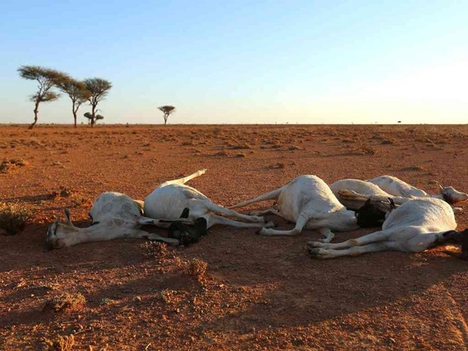 Carcasses of goats are seen in the outskirts of Garowe, Puntland state in northeastern Somalia, December 15, 2016. REUTERS