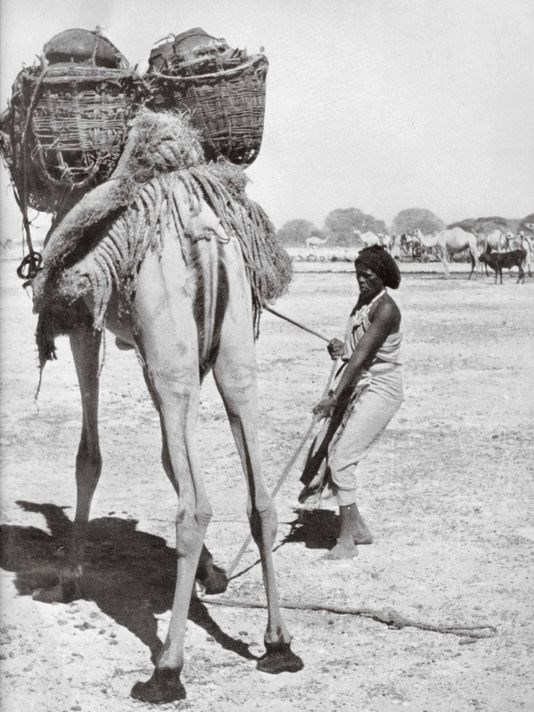 """Somali nomads move often in search of good pasture and water for their herds of sheep, goats, cows and camels. Here a nomad is guiding her camel. In """"Somalis + Minnesota,"""" an exhibit opening June 23, 2018 at the Minnesota History Center, a hands-on activity will show visitors how to load a camel for travel across the desert. (Photo: Minnesota Historical Society)"""
