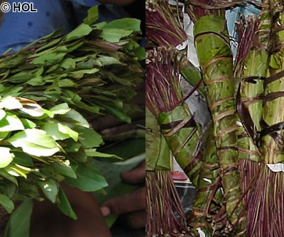 khat in puntland Home english news how much does it cost for somalia to ban khat  how much does it cost for somalia to ban khat for a week millions  somaliland iyo puntland.