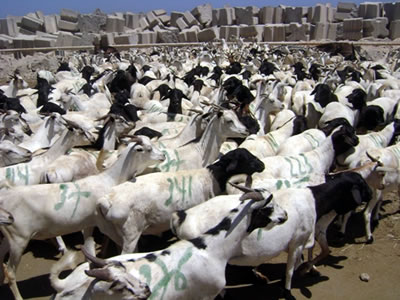 livestock trade in somaliland